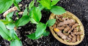 Curcuma Longa vs. Turmeric vs. Curcumin: What Is the Difference?